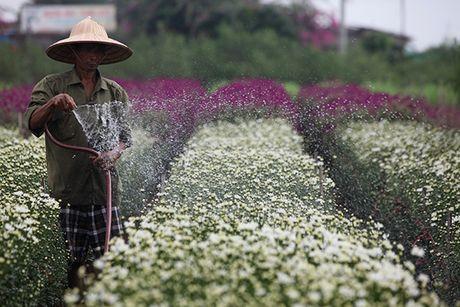 Ngam cuc hoa mi dau mua tren pho phuong Thu do - Anh 2