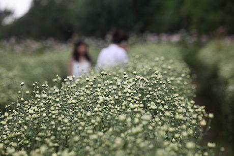 Ngam cuc hoa mi dau mua tren pho phuong Thu do - Anh 3