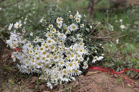 Ngam cuc hoa mi dau mua tren pho phuong Thu do - Anh 4