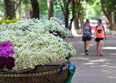 Ngam cuc hoa mi dau mua tren pho phuong Thu do - Anh 8