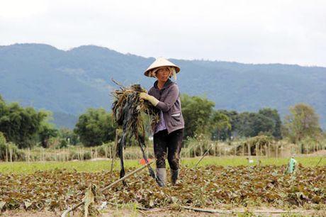Vung rau lon nhat Lam Dong tan hoang sau lu - Anh 3