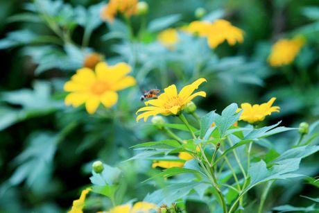 Dep ngo ngang mua hoa da quy o Ba Vi - Anh 4