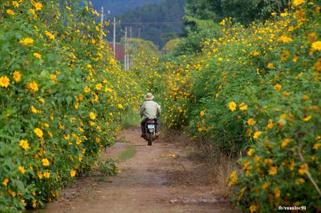 Nhung cung duong vang ruc sac hoa da quy o Lam Dong - Anh 7