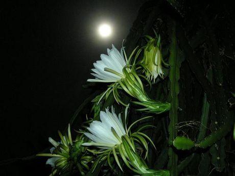 Tac dung chua benh cuc bat ngo cua hoa quynh - Anh 2