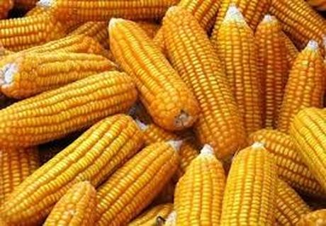 USDA: Du bao cung cau ngo the gioi nien vu 2016/17 - Anh 1