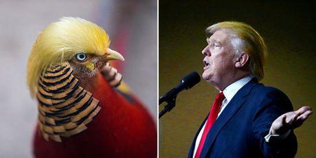 Chim tri hut khach du lich nho 'mai toc' giong het Donald Trump - Anh 3