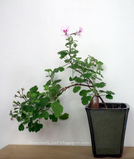 Dan choi me man nhung chau hoa bonsai the doc tuyet dep - Anh 1