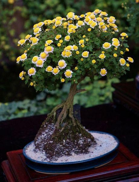 Dan choi me man nhung chau hoa bonsai the doc tuyet dep - Anh 2