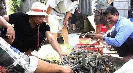Ca Mau: Xu phat khach Trung Quoc vi thu mua tom trai phep - Anh 1