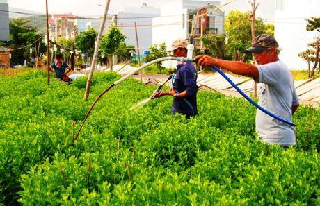 Binh Dinh: Thap thom mua hoa cuc Tet - Anh 1