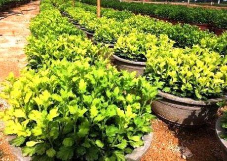 Binh Dinh: Thap thom mua hoa cuc Tet - Anh 2