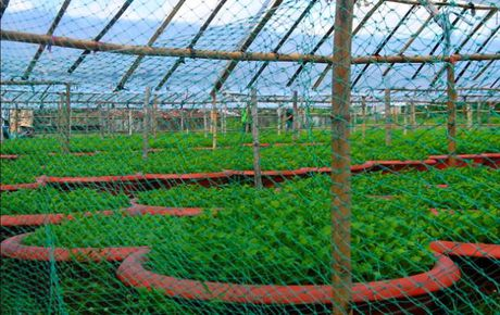 Binh Dinh: Thap thom mua hoa cuc Tet - Anh 4