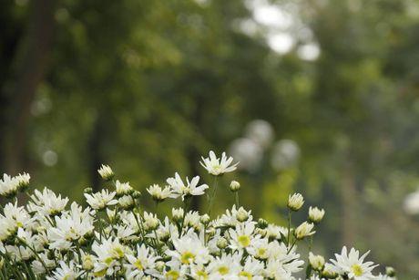 Ha Noi vao mua cuc hoa mi - truoc luc 'len ngoi' la mot thoi quen lang - Anh 1