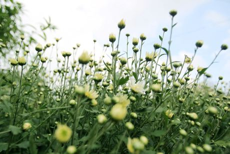 Cuc hoa mi tinh khoi dan loi Dong ve - Anh 14