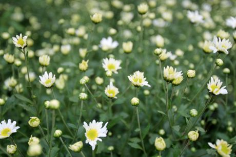 Cuc hoa mi tinh khoi dan loi Dong ve - Anh 1