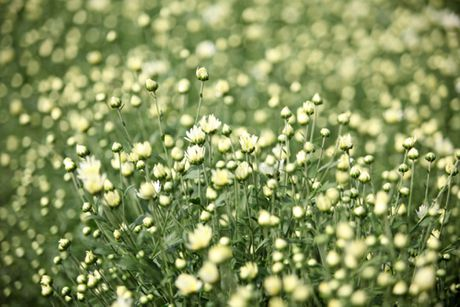 Cuc hoa mi tinh khoi dan loi Dong ve - Anh 2