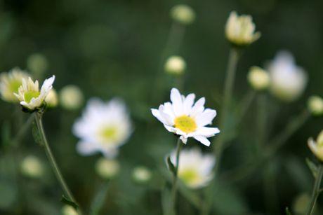 Cuc hoa mi tinh khoi dan loi Dong ve - Anh 5