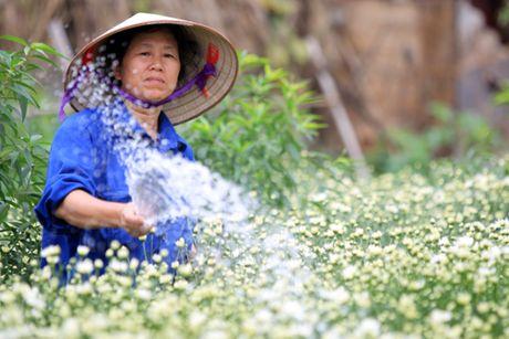 Cuc hoa mi tinh khoi dan loi Dong ve - Anh 6