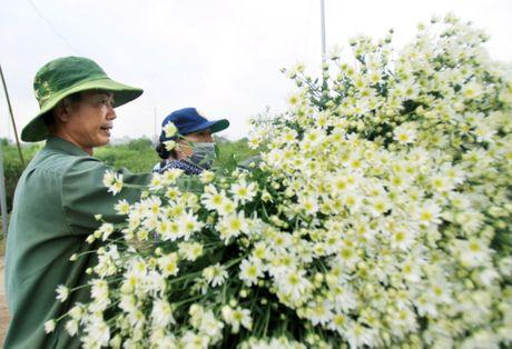 Cuc hoa mi tinh khoi dan loi Dong ve - Anh 7