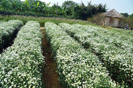 Cuc hoa mi khoe sac trang trong gio lanh dau dong Ha Noi - Anh 1