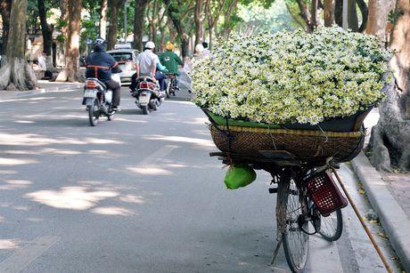 Cuc hoa mi khoe sac trang trong gio lanh dau dong Ha Noi - Anh 7