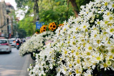 Cuc hoa mi khoe sac trang trong gio lanh dau dong Ha Noi - Anh 8