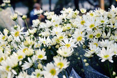 Cuc hoa mi khoe sac trang trong gio lanh dau dong Ha Noi - Anh 9