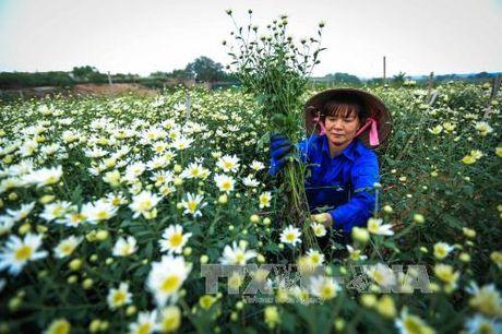Mua cuc hoa mi ve pho - Anh 3