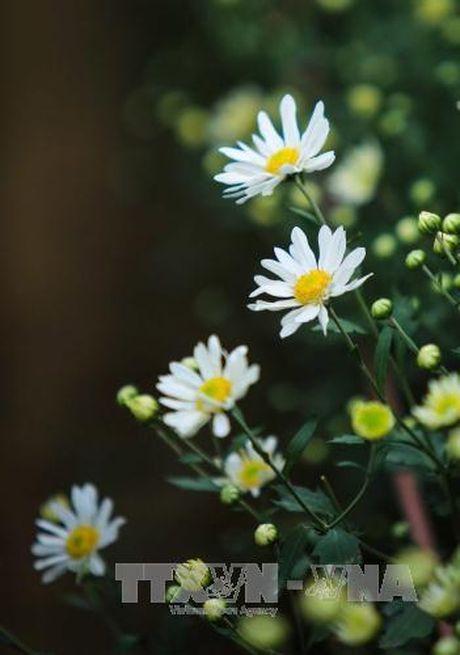 Mua cuc hoa mi ve pho - Anh 7