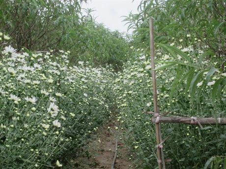 [Anh]: Cuc hoa mi ngap tran tren pho Ha Noi - Anh 2