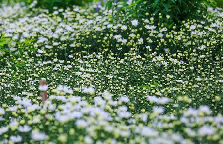 Thieu nu Ha thanh ron rang check-in vuon hoa cuc hoa mi tuyet dep - Anh 1