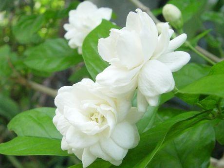 6 tac dung chua benh cua hoa nhai khong phai ai cung biet - Anh 1