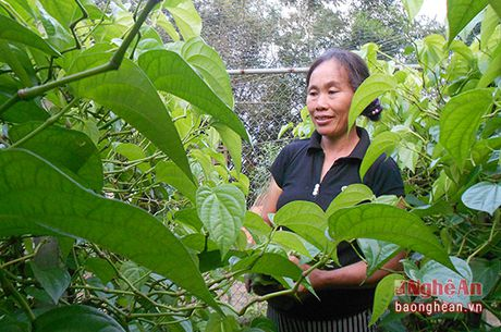 Trau khong Nghe An xuat khau sang Dai Loan - Anh 1