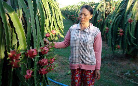 Thanh long Binh Thuan tim huong khong le thuoc thi truong Trung Quoc - Anh 1