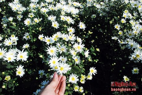 Diu dang cuc hoa mi Ha Noi vao Dong - Anh 1