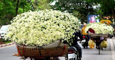 Cuoi mua, cuc hoa mi bung no tren duong pho Ha Noi - Anh 1