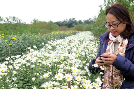 Cuoi mua, cuc hoa mi bung no tren duong pho Ha Noi - Anh 5