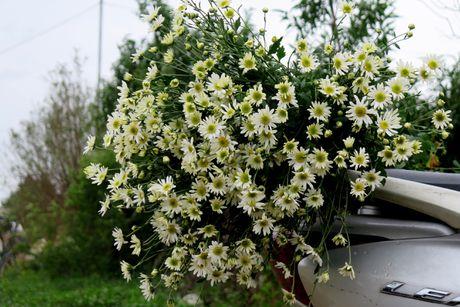 Cuoi mua, cuc hoa mi bung no tren duong pho Ha Noi - Anh 6