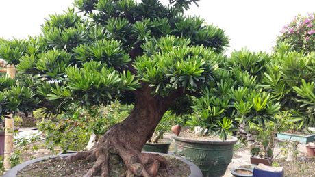 Ky thuat trong cay Tung La Han va cach tao the bonsai mang lai tai loc - Anh 1