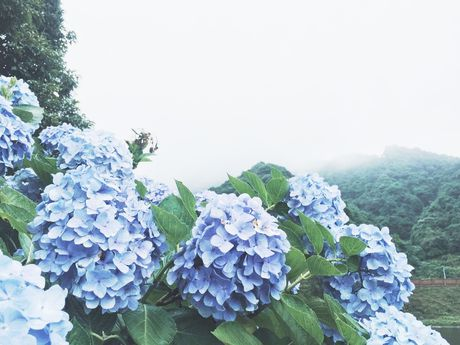Cao Bang: Ngam vuon hoa Cam tu cau ruc ro tren rung Phia Den - Anh 3