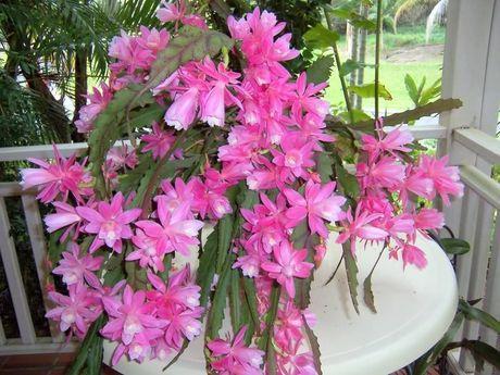 Kinh nghiem trong hoa quynh cho hoa no quanh nam - Anh 3