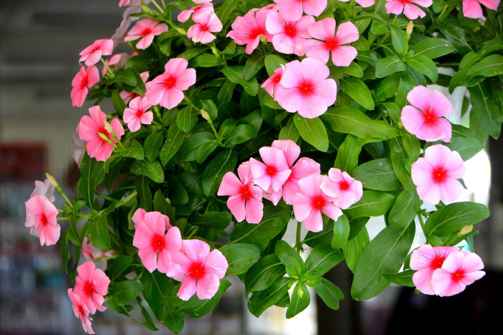 Cac loai hoa de trong song lau cho khu vuon nha ban them ruc ro
