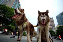 Người nuôi chó coi chừng chó bị tiêu hủy; ra đường không rọ mõm bị phạt tiền