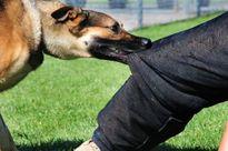 Để chó cắn người, chủ nuôi phải chịu trách nhiệm?
