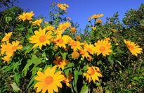 Đến Đà Lạt thưởng thức mùa hoa dã quỳ sắp tới