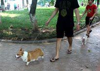 Hà Nội: Chó không đeo rọ vẫn 'tung tăng' nơi công cộng
