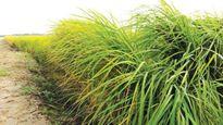 Trung Quốc: Đột phá trong trồng lúa nước mặn