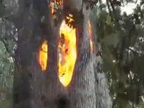 Kỳ lạ thân cây bốc cháy bên trong, vỏ ngoài vẫn nguyên vẹn