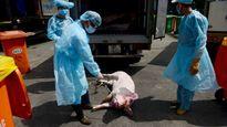 Xử lý nghiêm các vi phạm về chất lượng thịt heo, kể cả việc khởi tố