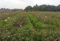 'Mưa bền vững', nhiều mẫu hoa héo úa, nông dân Tây Tựu 'trắng tay'